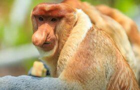 обезьяна носач